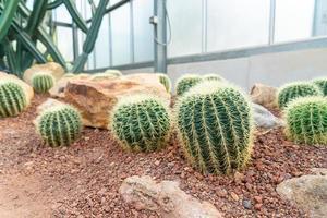 lindo cacto no jardim do jardim botânico rainha sirikit chiang mai, tailândia foto