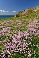 le pulec jersey uk spring pink thrift e penhascos costeiros foto