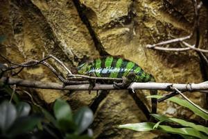 camaleão na selva foto
