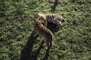 tigre selvagem na selva foto