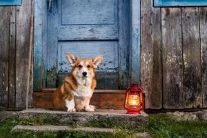 retrato engraçado de cachorro corgi ao ar livre na floresta foto