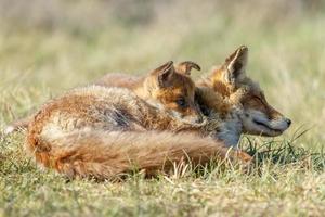 filhotes de raposa vermelha na natureza foto