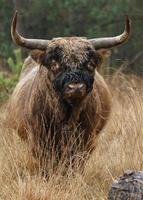 a vaca das terras altas foto