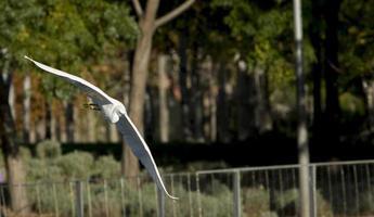 pássaro garça voando sobre o parque madrid rio, madri espanha foto