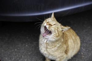 gato com boca aberta foto
