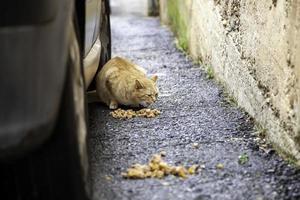 gatos vadios comendo na rua foto
