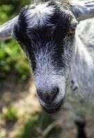 cabra com chifres em uma fazenda foto