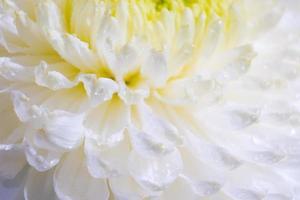 lindo padrão de pétalas da cabeça de flor de uma flor de crisântemo foto