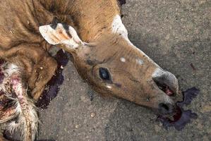 animal morto na estrada atropelado por um veículo, dirija com cuidado, acidente foto
