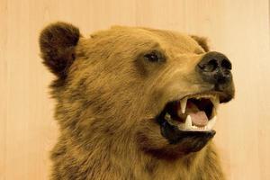 taxidermia da cabeça de um urso foto