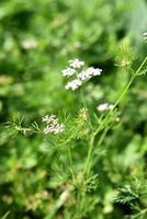 closeup de flores de coentro na planta em um campo agrícola foto