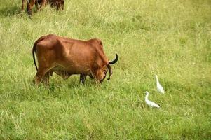 vacas e touros pastam em um campo de grama exuberante foto