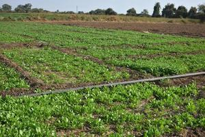 espinafre fresco em fazenda orgânica foto