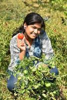 jovem feliz colhendo ou examinando tomates frescos em uma fazenda ou campo orgânico foto