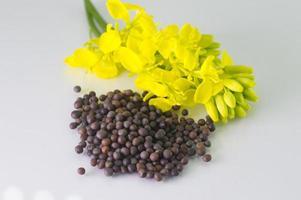 flor e sementes de mostarda marrom em fundo branco foto