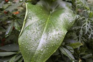 folhas de calla molhadas foto