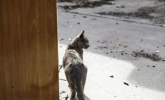 gato cinza de rua foto
