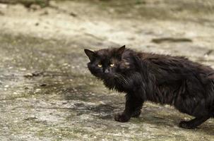 gato persa na rua foto