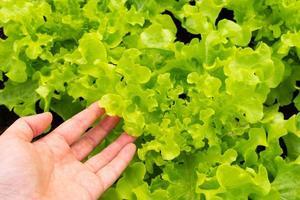 close-up vista da mão esquerda tocando folhas verdes frescas de alface orgânica foto
