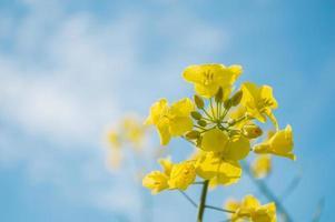 colza amarela ou flores de canola, cultivadas para o óleo de colza foto
