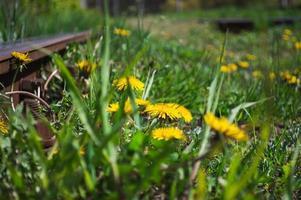 flor amarela desabrochando de dente de leão perto da ferrovia foto