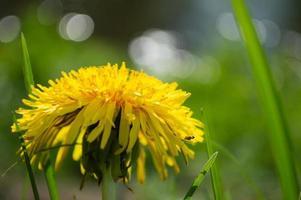 flor amarela desabrochando de dente de leão em campo verde foto