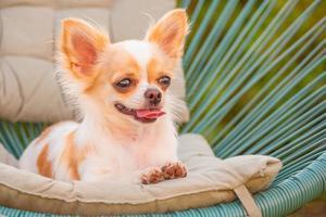 estilo de vida do cachorro, chihuahua de pêlo comprido relaxando em uma cadeira de vime com travesseiro em um dia ensolarado. cachorro em uma cadeira no jardim. foto