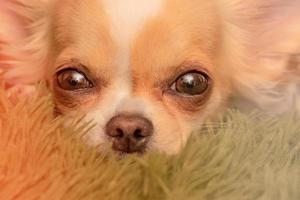 chihuahua minúsculo. cachorro close-up. cachorros chihuahua em um cobertor. foto