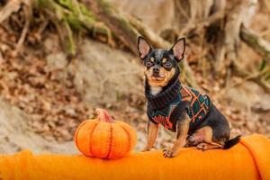conceito de halloween e chihuahuas. retrato de cachorro chihuahua de cabelo curto fofo com abóbora de halloween. foto