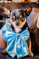 cachorrinho engraçado. retrato de cachorro chihuahua com laço azul. foto
