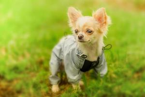 cachorro chihuahua com roupas na grama. cachorro vestido na grama. chihuahua com uma capa de chuva cinza. foto