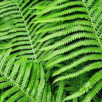 padrão da natureza feito de folhas verdes de samambaia. foto