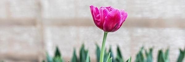 tulipa rosa em um canteiro de flores no jardim. Primavera. florescendo.banner foto
