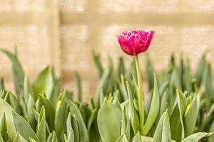 tulipa rosa em um canteiro de flores no jardim. Primavera. florescendo. foto