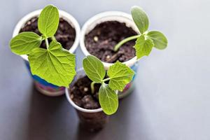 brotos de vegetais. crescendo mudas de pepino jovens em copos. conceito de horticultura e colheita. foto