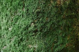 close-up de musgo verde na madeira na estação das chuvas, foco seletivo, conceito de meio ambiente, espaço de cópia. casca verde em close-up de tronco de árvore. musgo cresce fortemente na casca desta árvore foto