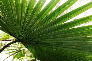 textura de planta folhosa de palmeira. conceito de verão. papéis de parede de fotos