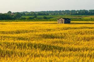 casa de madeira esquecida em um campo de trigo dourado foto