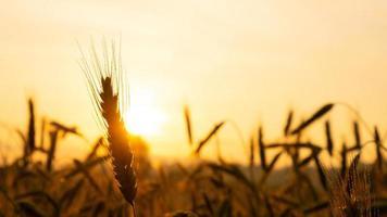 espigas de trigo, close-up sob os raios do sol quente e amarelo ao nascer do sol, amanhecer sobre um campo de trigo no campo foto