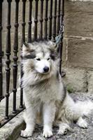 husky amarrado na rua foto