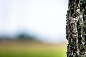 abstrato com um close-up de um tronco de árvore de vidoeiro solitário. foto