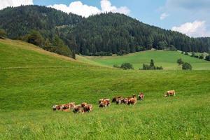 Áustria. vacas em uma pastagem alpina verde em um dia de verão, céu azul, paisagem montanhosa. foto