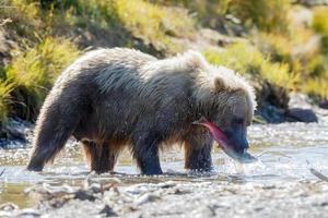 urso grisalho na natureza do Alasca foto