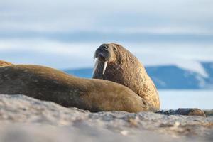 morsa no norte do mundo em spitsbergen. foto