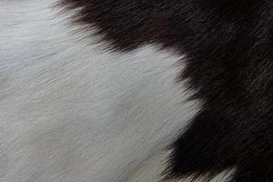 casaco de pele de vaca marrom com pelo preto branco e manchas marrons foto