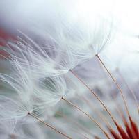 flor de dente de leão romântico na primavera, semente de dente de leão macro foto