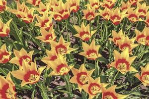 muitos narcisos de tulipas coloridas em keukenhof park lisse holanda holanda. foto