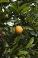 a linda laranjeira com frutos maduros foto