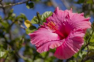hibisco com flores cor de rosa da cidade do cabo na áfrica do sul. foto