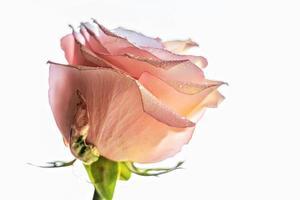 close-up de flor rosa rosa. o conceito de dia dos namorados, aniversário, dia internacional da mulher. foto